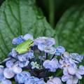 紫陽花と_公園 D8862
