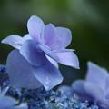 紫陽花_公園 D8857