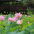 Photos: 蓮_公園 D8887