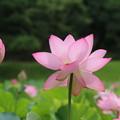 Photos: 蓮_公園 D8892
