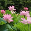 Photos: 蓮_公園 D8896
