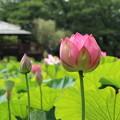 Photos: 蓮_公園 D8899
