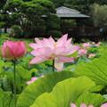 Photos: 蓮_公園 D8900