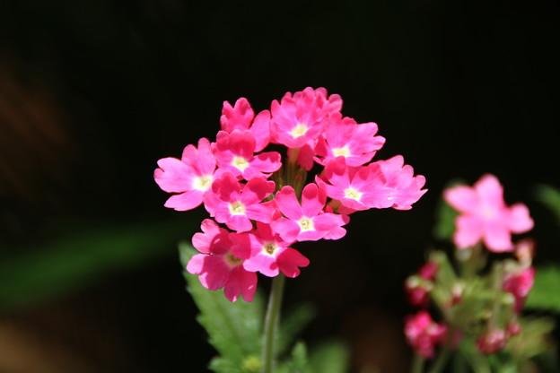 花壇の花 D8936