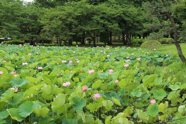 蓮_公園 D8913