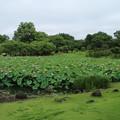 蓮_公園 D8918