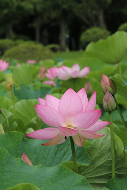 蓮_公園 D8917