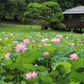 蓮_公園 D8935