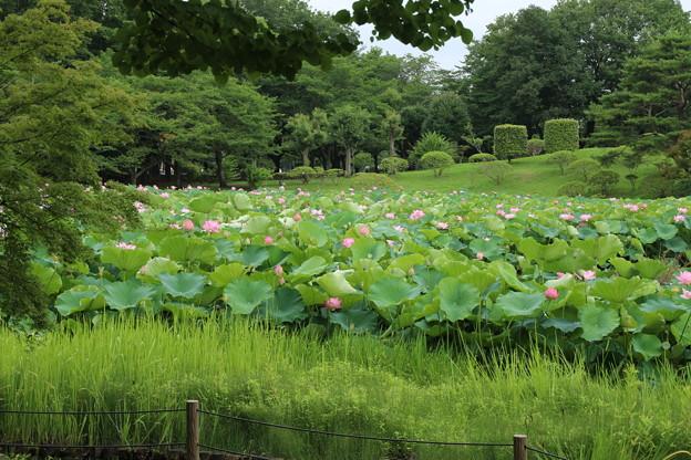 蓮_公園 D8922