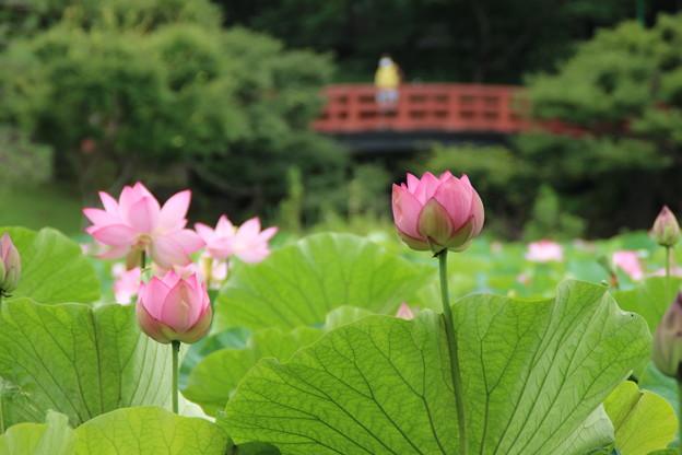蓮_公園 D8930