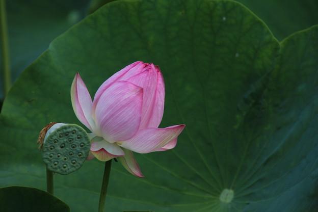 Photos: 大賀蓮_古河 D8958