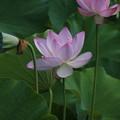 Photos: 大賀蓮_古河 D8961
