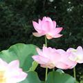 大賀蓮_古河 D8965