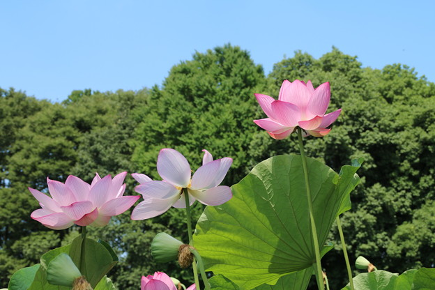Photos: 大賀蓮_古河 D8967