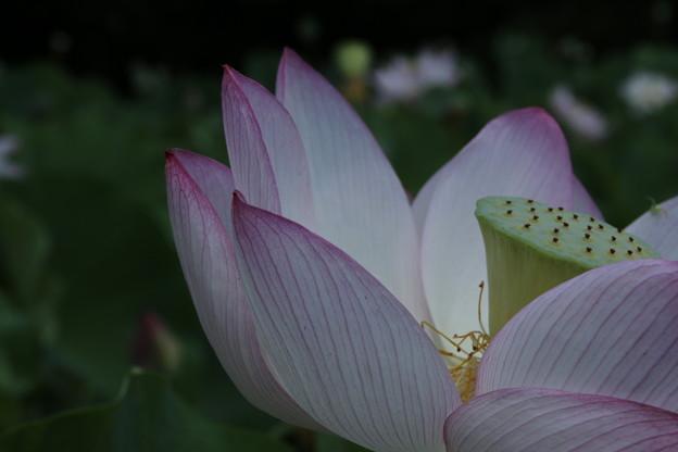 Photos: 大賀蓮_古河 D8973