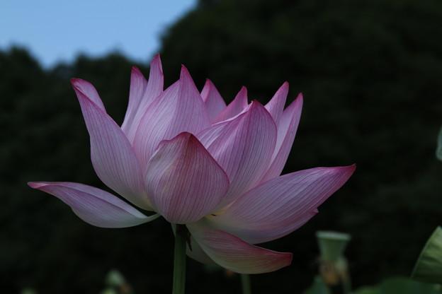 Photos: 大賀蓮_古河 D8976