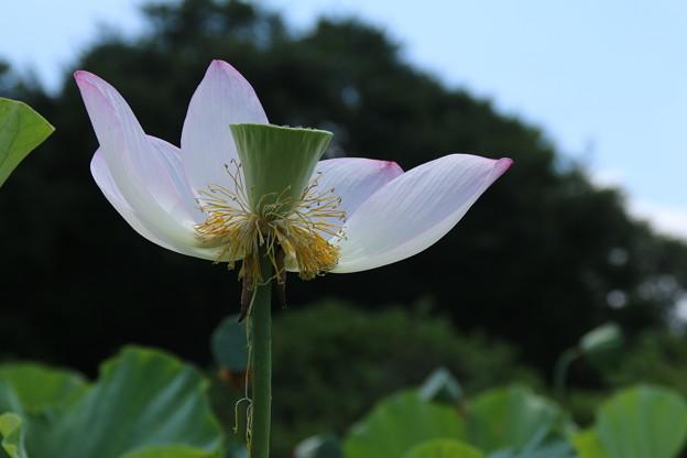 大賀蓮_古河 D8983