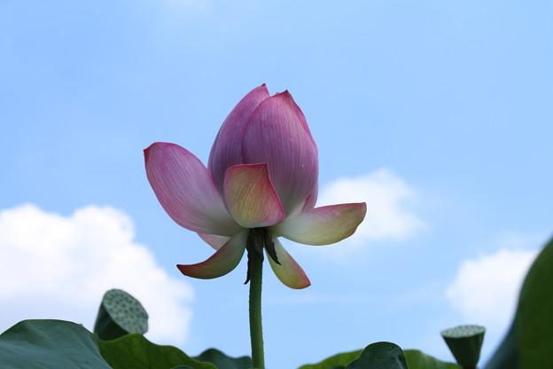 大賀蓮_古河 D8986