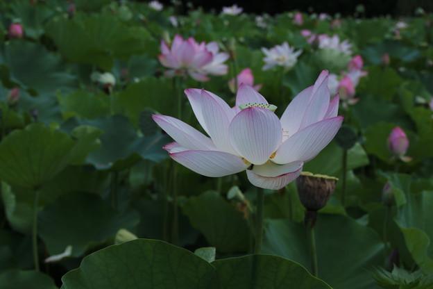 Photos: 大賀蓮_古河 D8987