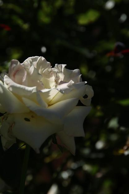 Photos: バラ_公園 D9040
