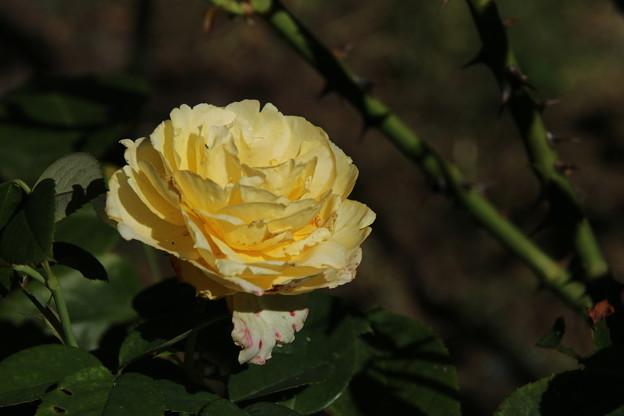 Photos: バラ_公園 D9041