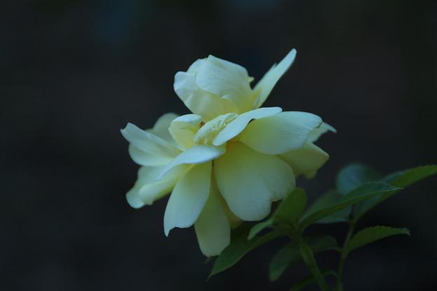 Photos: バラ_公園 D9050