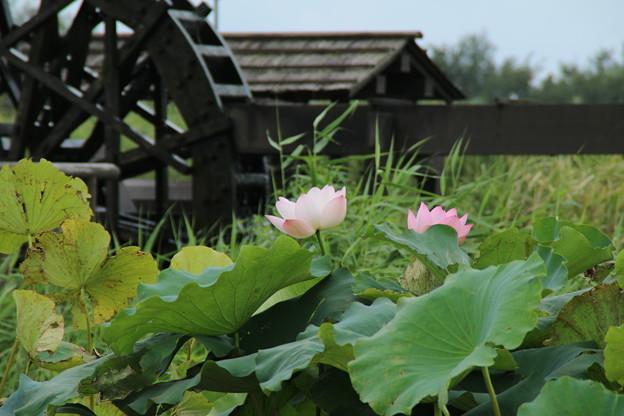 Photos: 蓮_公園 D9154