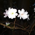 十月桜_散歩道 K690