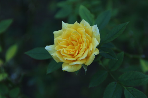 Photos: バラ_公園 D9238