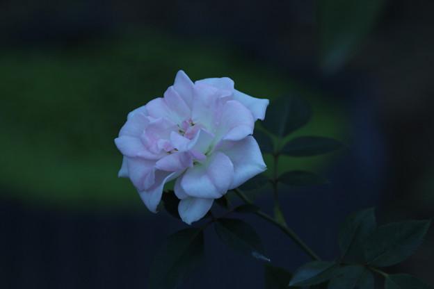 Photos: バラ_公園 D9239