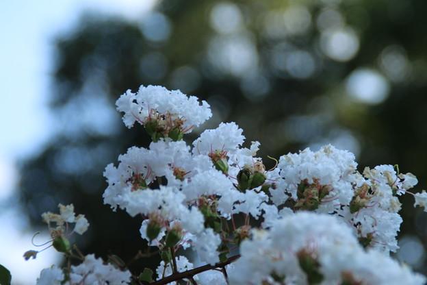 白い百日紅_散歩道 D9277