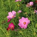 秋桜_公園 D9352