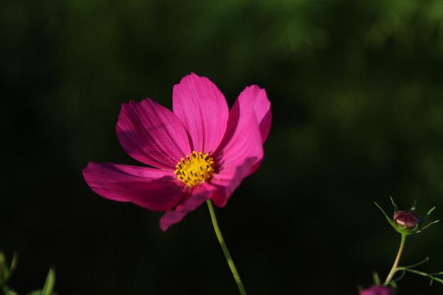 秋桜_公園 D9350