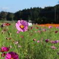 秋桜_公園 D9360