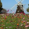 秋桜と風車 _公園 D9384