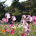 秋桜_公園 D9387