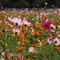 秋桜_公園 D9392