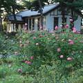 秋の薔薇_前橋 D9431