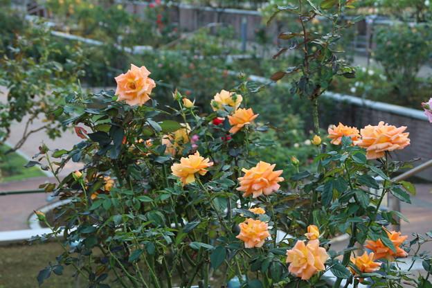秋の薔薇_前橋 D9436