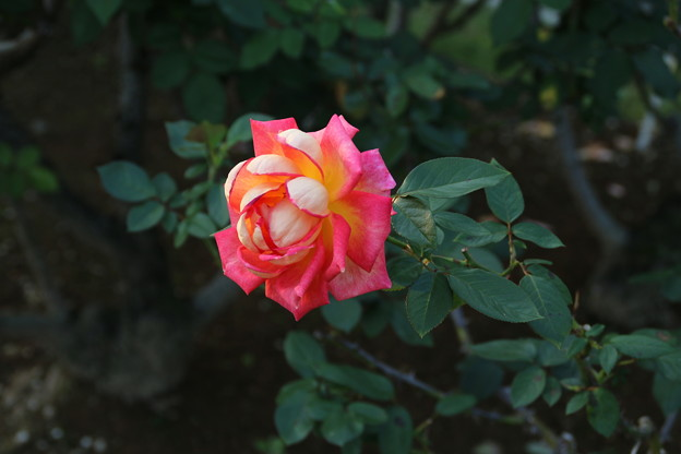 秋の薔薇_前橋 D9437
