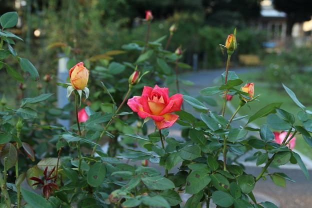 秋の薔薇_前橋 D9438