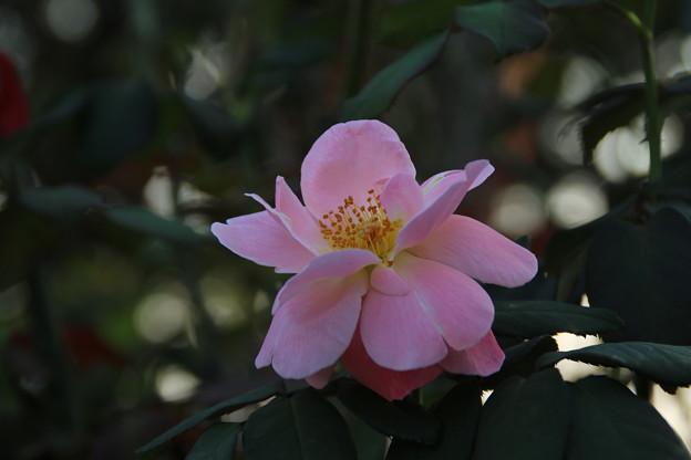 秋の薔薇_前橋 D9443