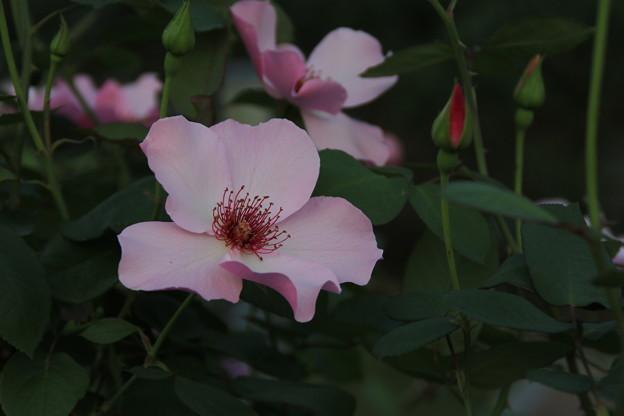 秋の薔薇_前橋 D9447
