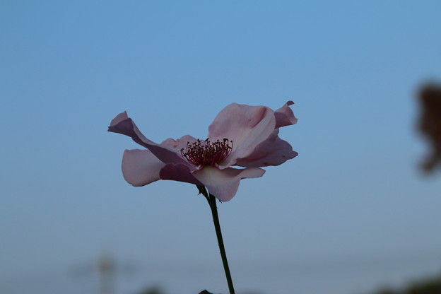 秋の薔薇_前橋 D9448