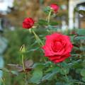 秋の薔薇_前橋 D9450