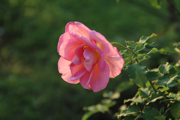 秋の薔薇_前橋 D9453
