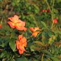 秋の薔薇_前橋 D9457