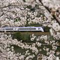 Photos: 市ヶ谷桜