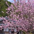 宗安禅師の桜