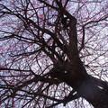 Photos: 梅の樹